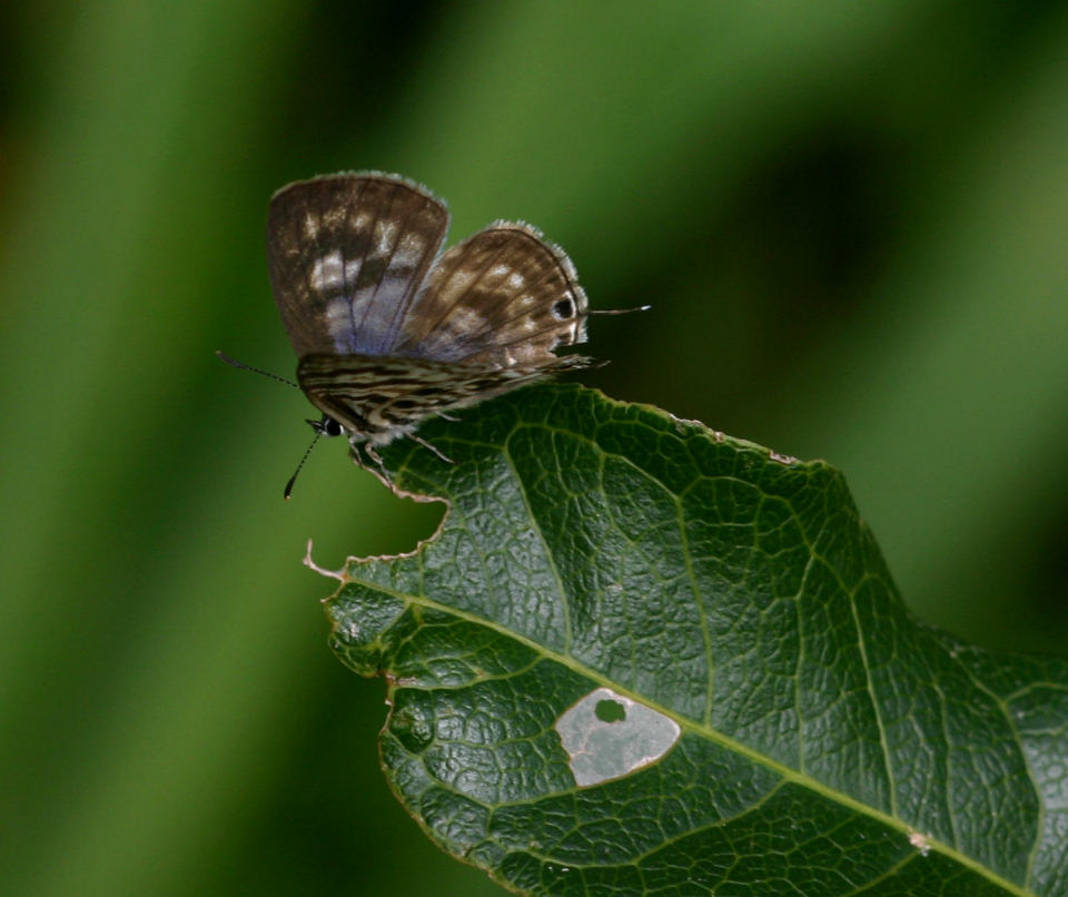 Leptotes group