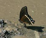 Papilio nireus