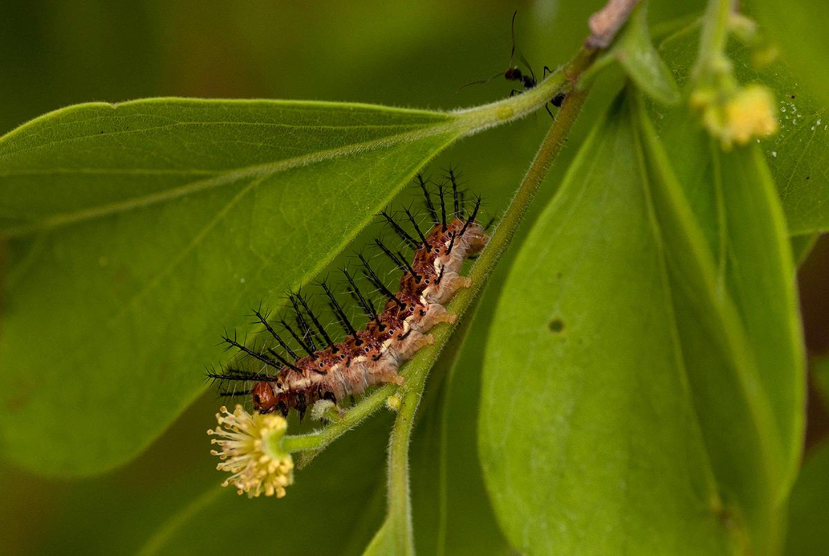 Phalanta phalantha