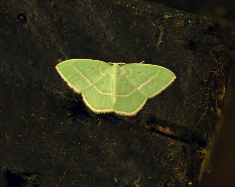 Comostilopsis stillata
