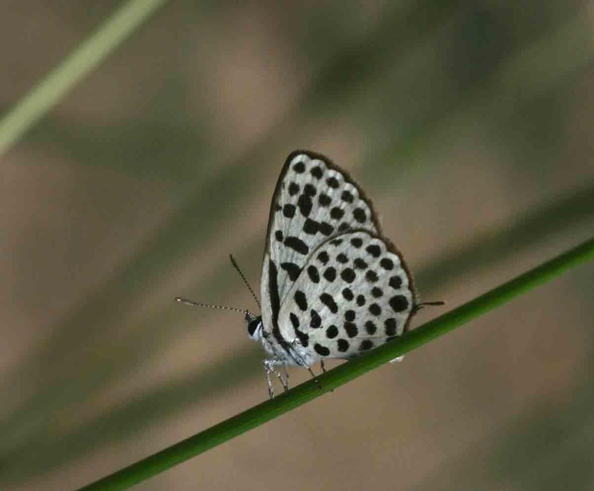 Tarucus sybaris
