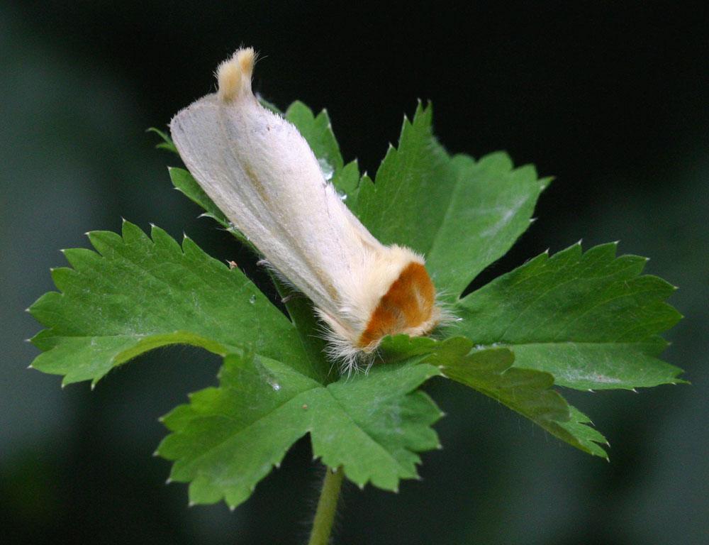 Antheua simplex