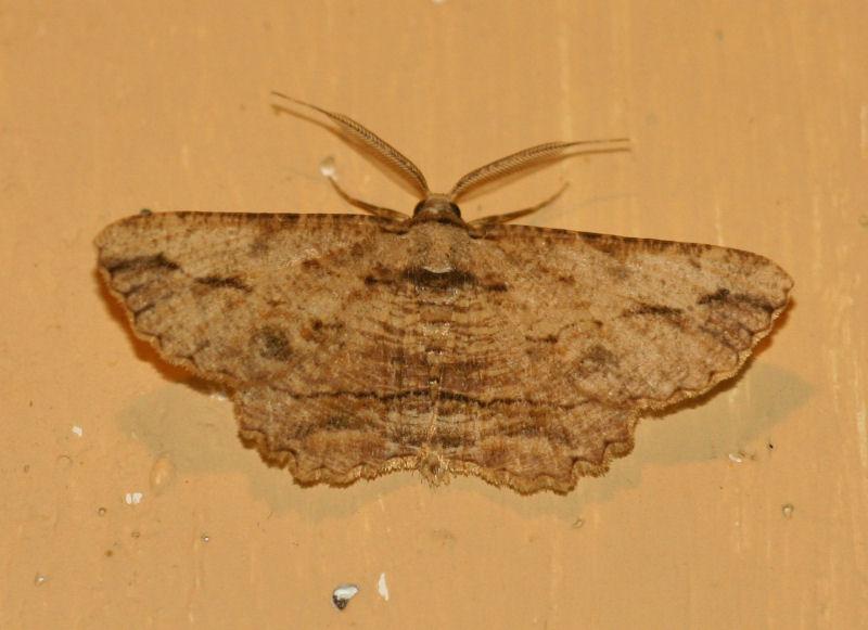 Menophra obtusata