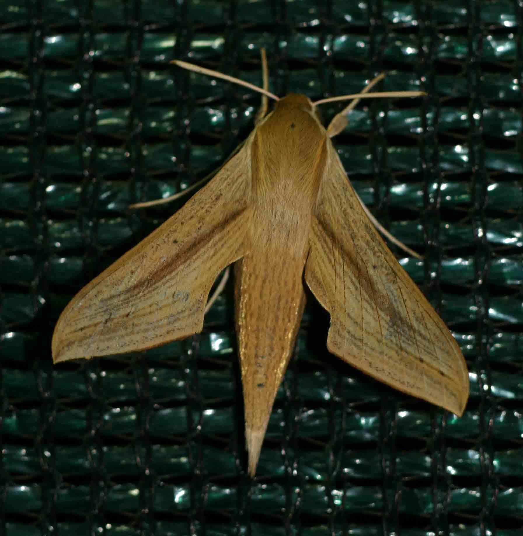 Hippotion balsaminae