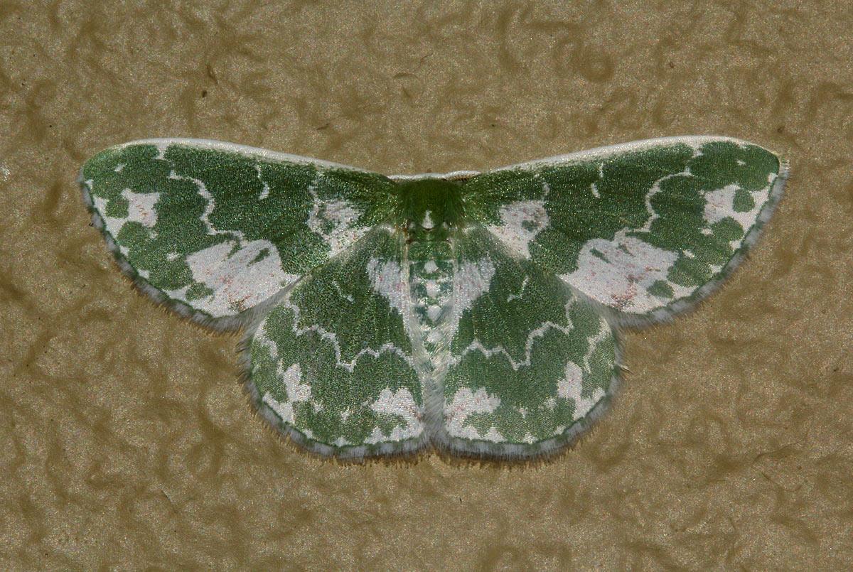 Rhodesia viridalbata