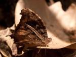 Gnophodes betsimena