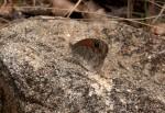 Stygionympha wichgrafi