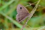 Ypthimomorpha itonia
