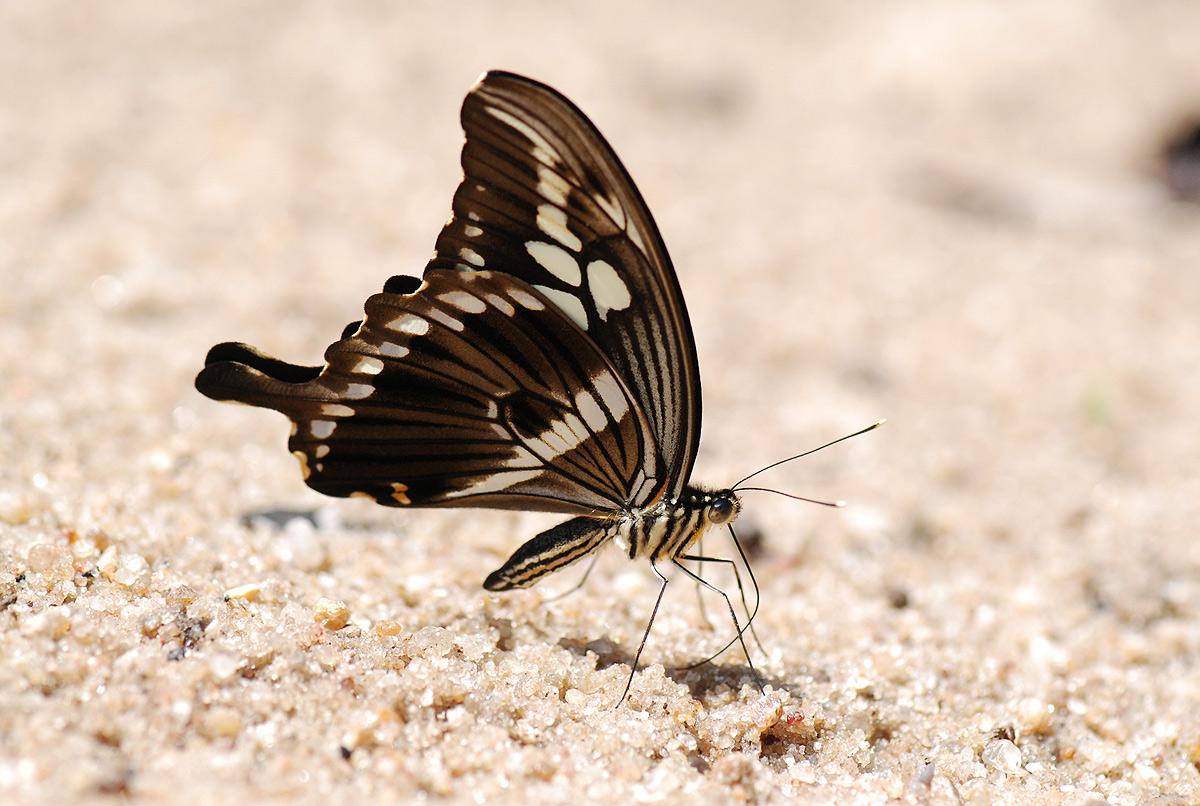 Papilio constantinus