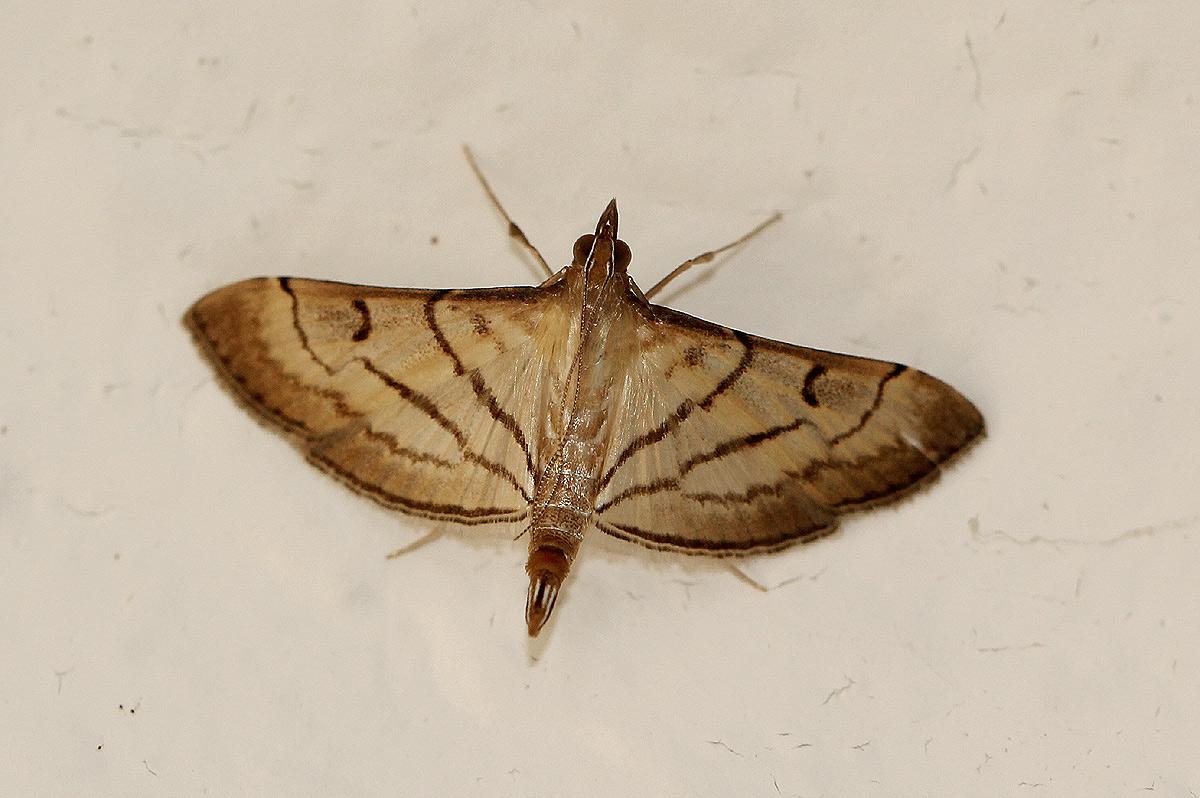 Cnaphalocrocis trapezalis