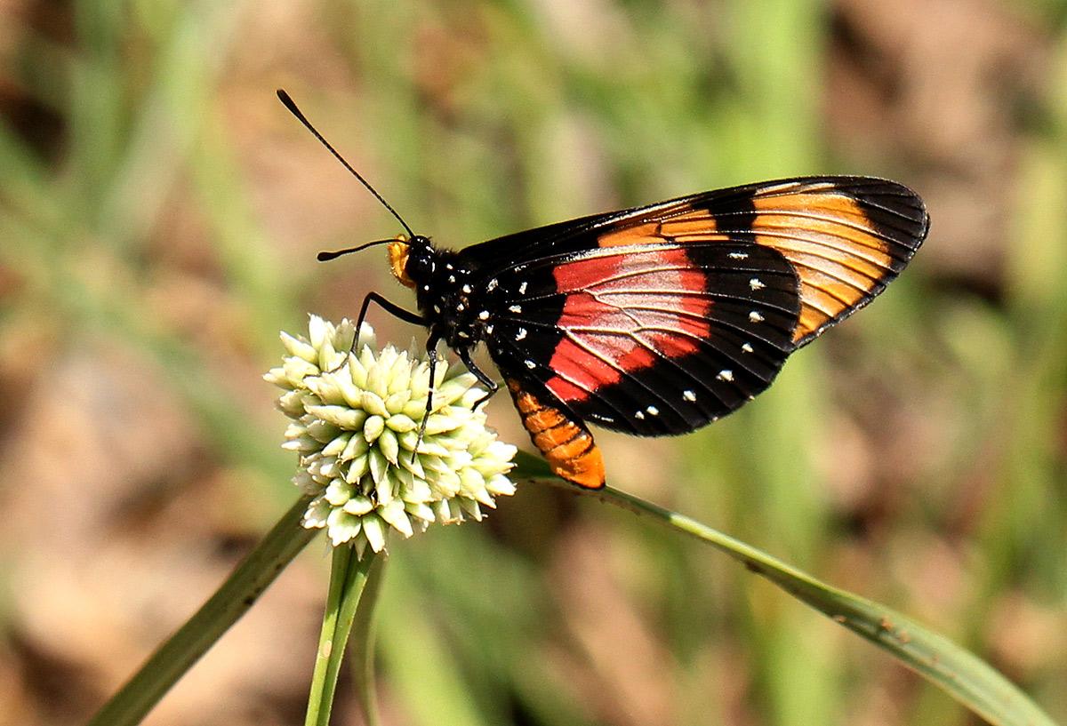 Acraea anemosa