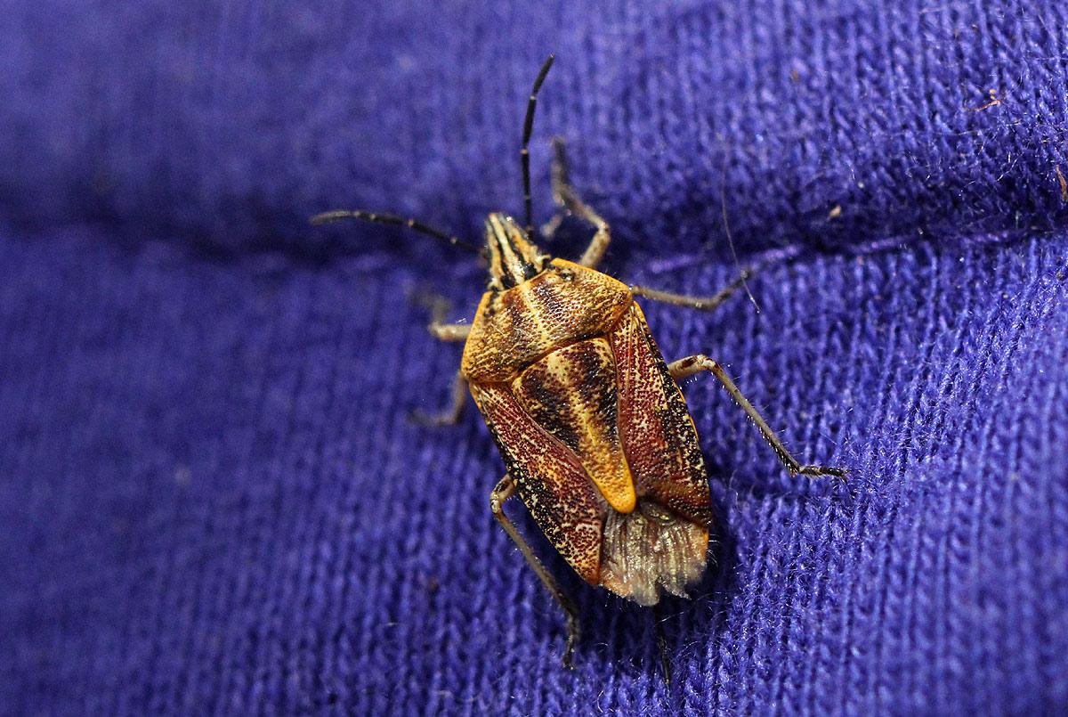 Agonoscelis versicoloratus