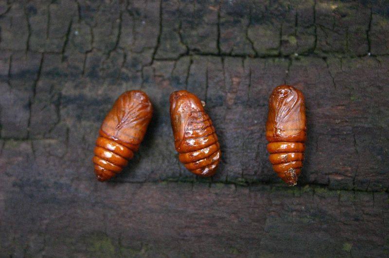 Bombycomorpha bifascia
