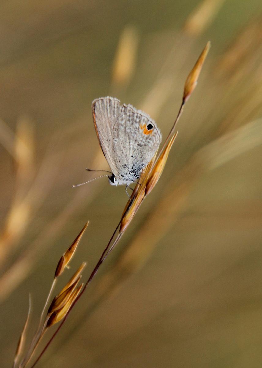 Eicochrysops messapus