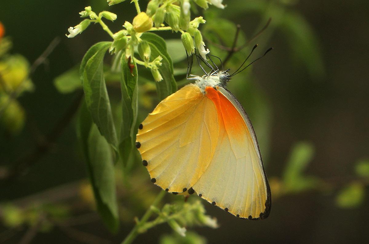 Mylothris agathina
