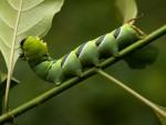 Coelonia fulvinotata