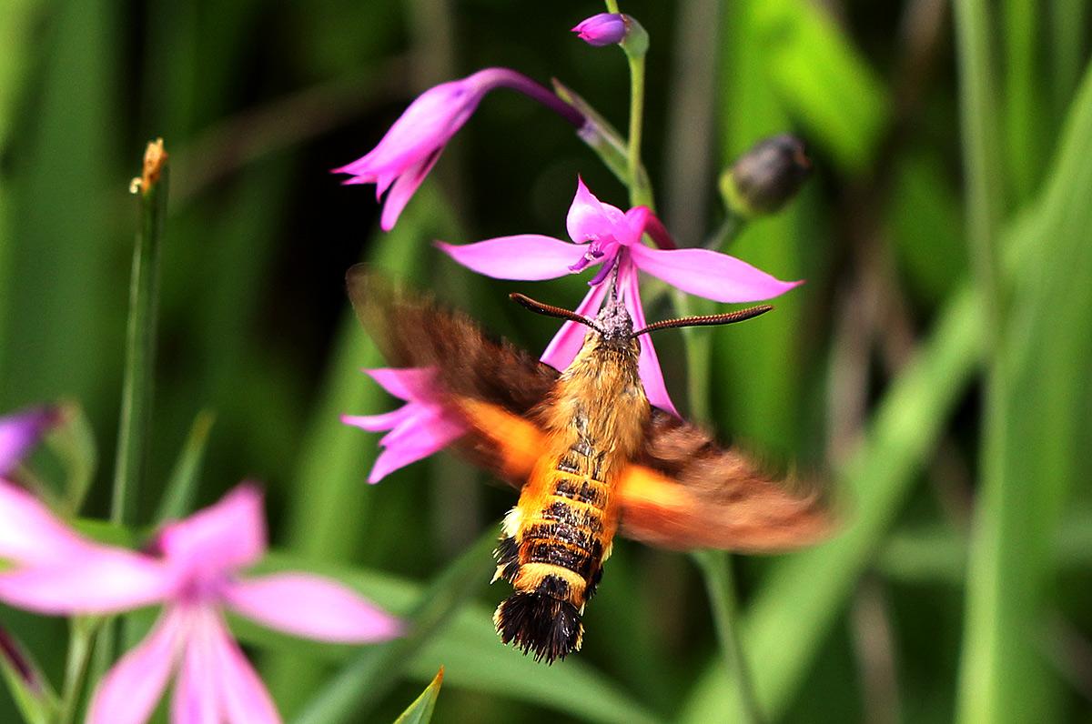 Macroglossum trochilus