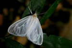 Marblepsis melanocraspis