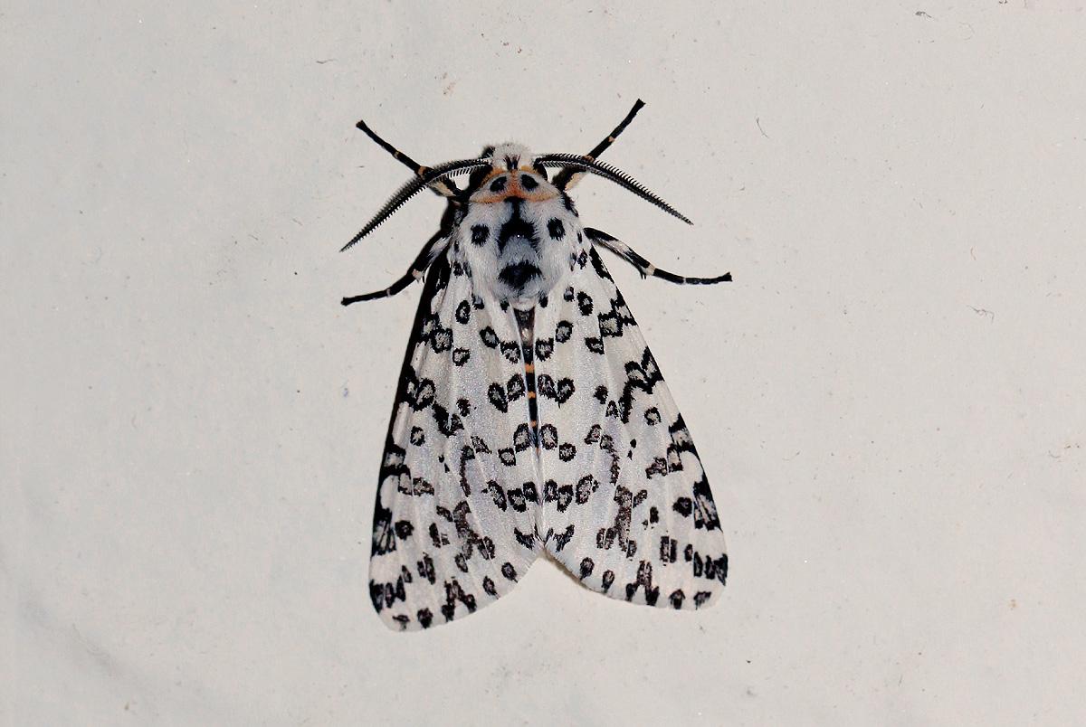 Alpenus maculosa