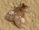 Palasea albimacula