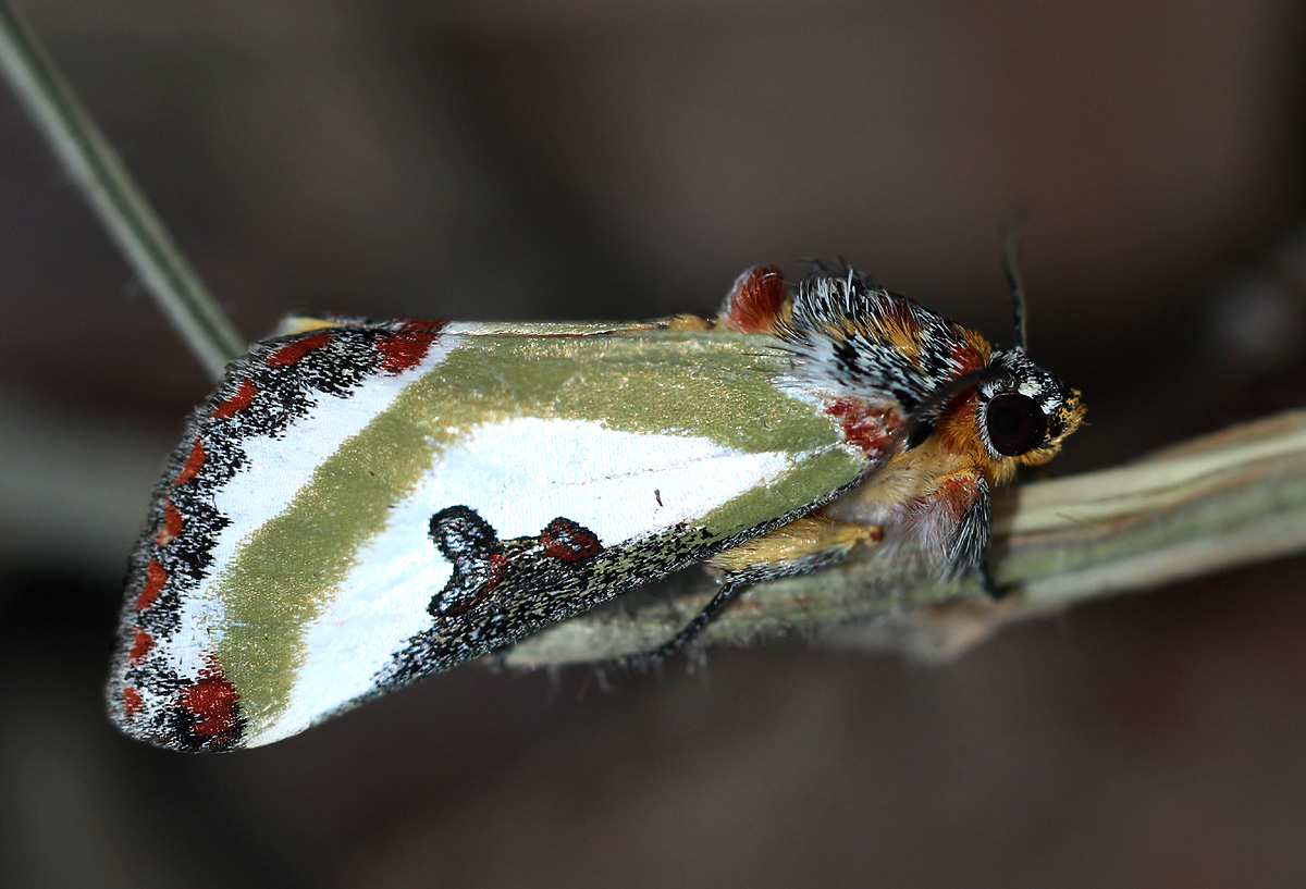 Ovios capensis