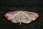 Cadarena Pudoraria