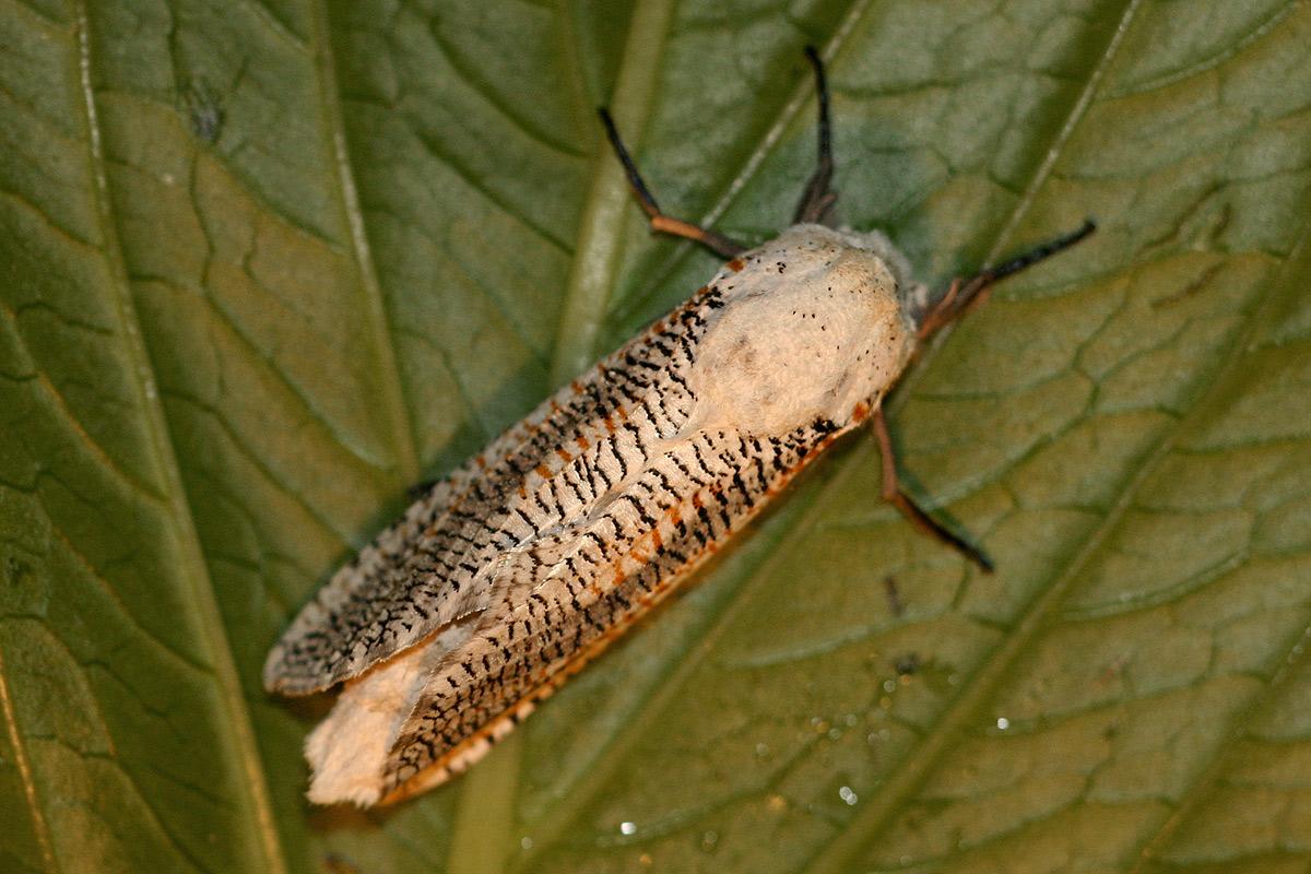 Azygophleps inclusa