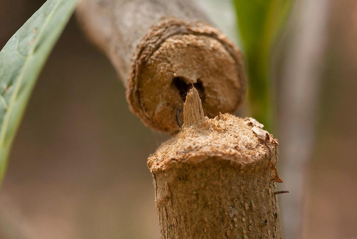 Sthenias puncticornis