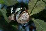 Hypolimnas deceptor