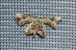 Leucoplema dohertyi
