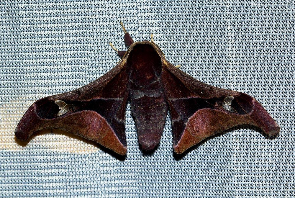 Holocerina smilax