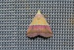 Eublemma anachoresis