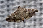 Glyphodes stolalis