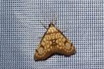 Chalcidoptera thermographa