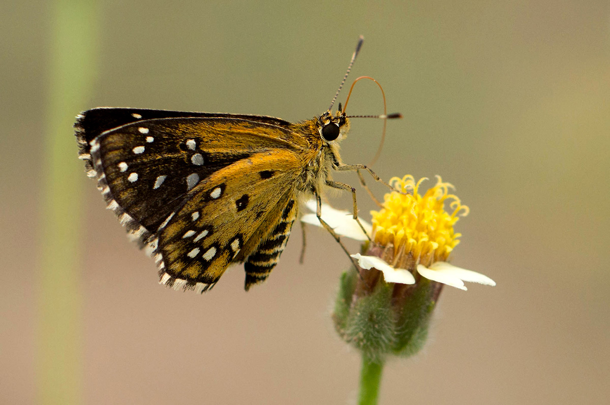 Astictopterus stellata