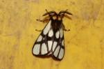 Anaphe reticulata