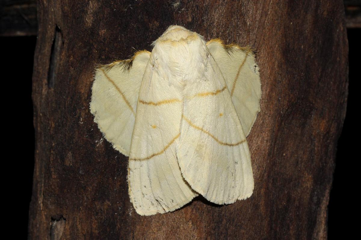 Trichopisthia monteiroi