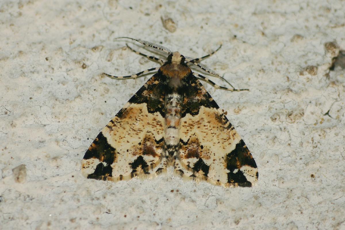 Oedicentra albipennis