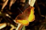 Eurytela dryope