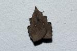 Rhinobombyx cuneata