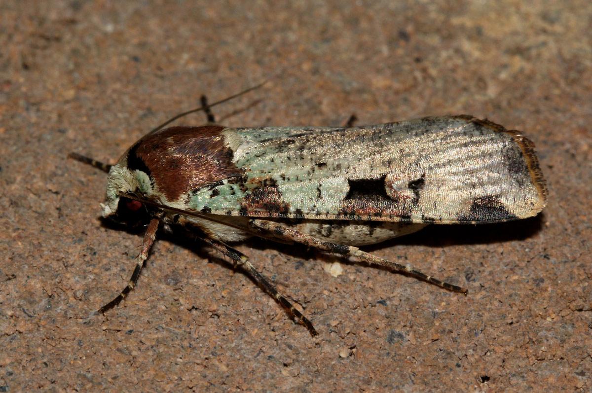 Mentaxya  ignicollis