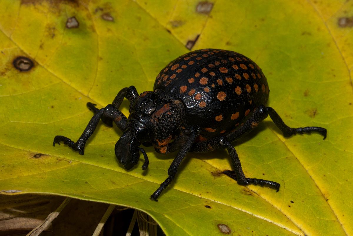 Brachycerus ornatus