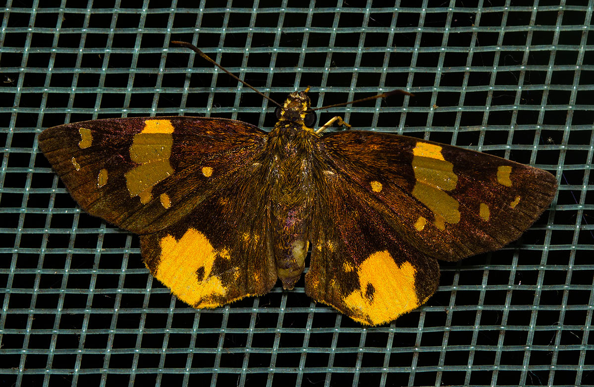 Calaenorrhinus galenus
