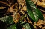 Lachnoptera ayresii