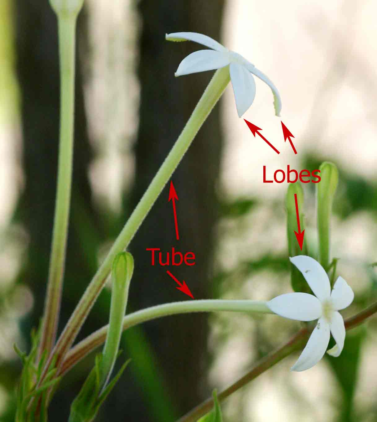 Image showing corolla tube and lobes
