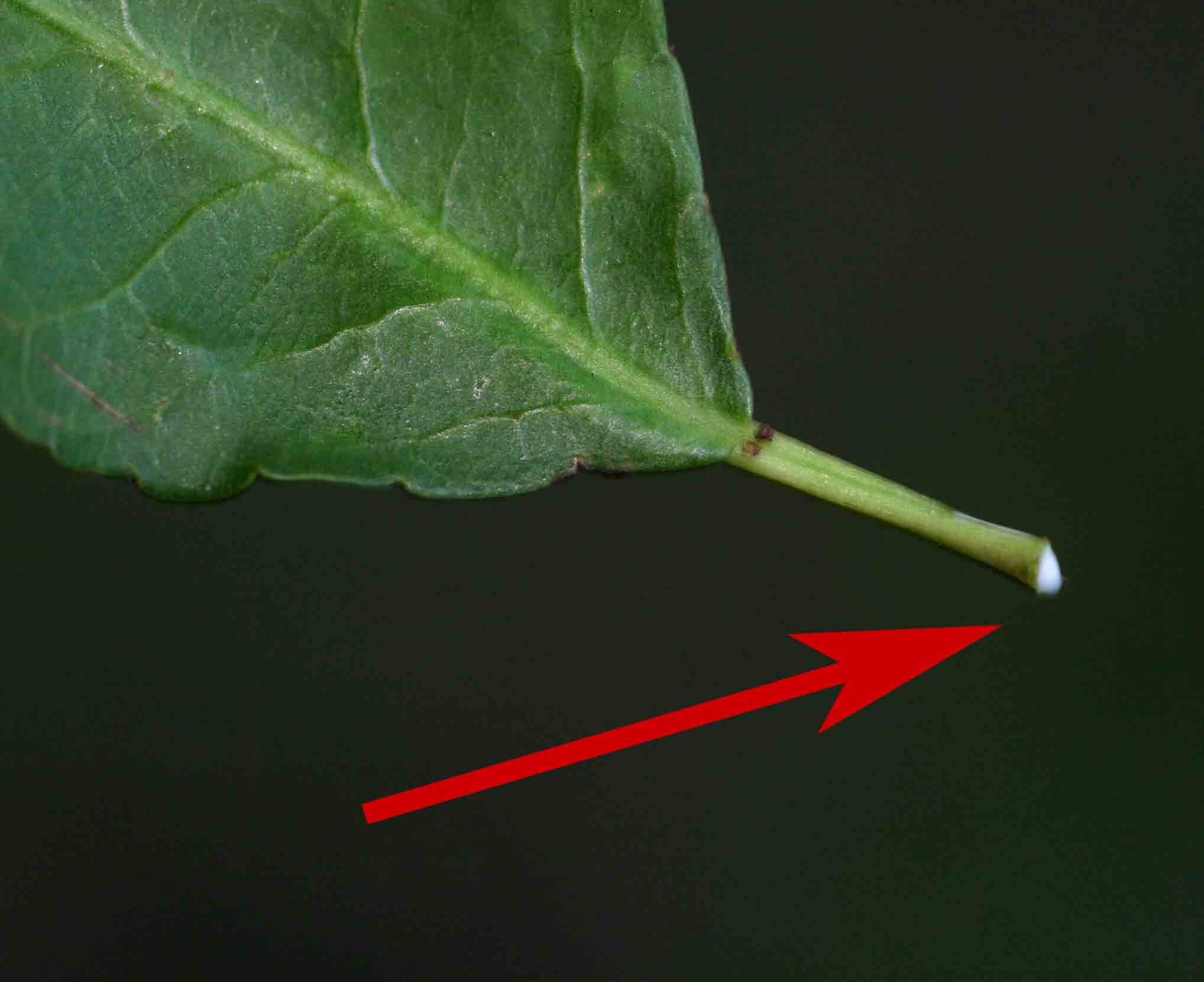 Milky latex emerging from a leaf of Spirostachys africana.