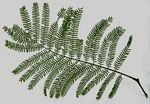 Leaf of Acacia amythethophylla.