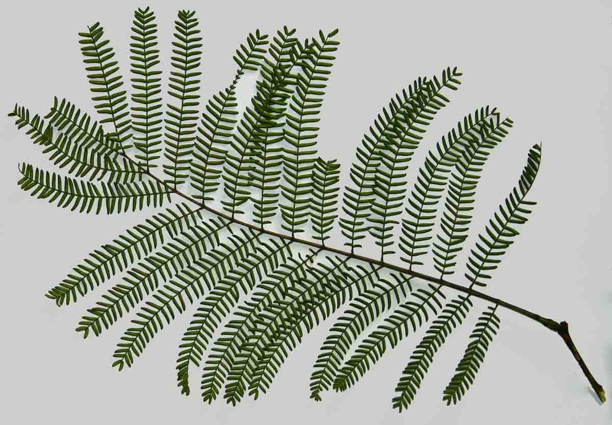 Leaf of Acacia amythethophylla.