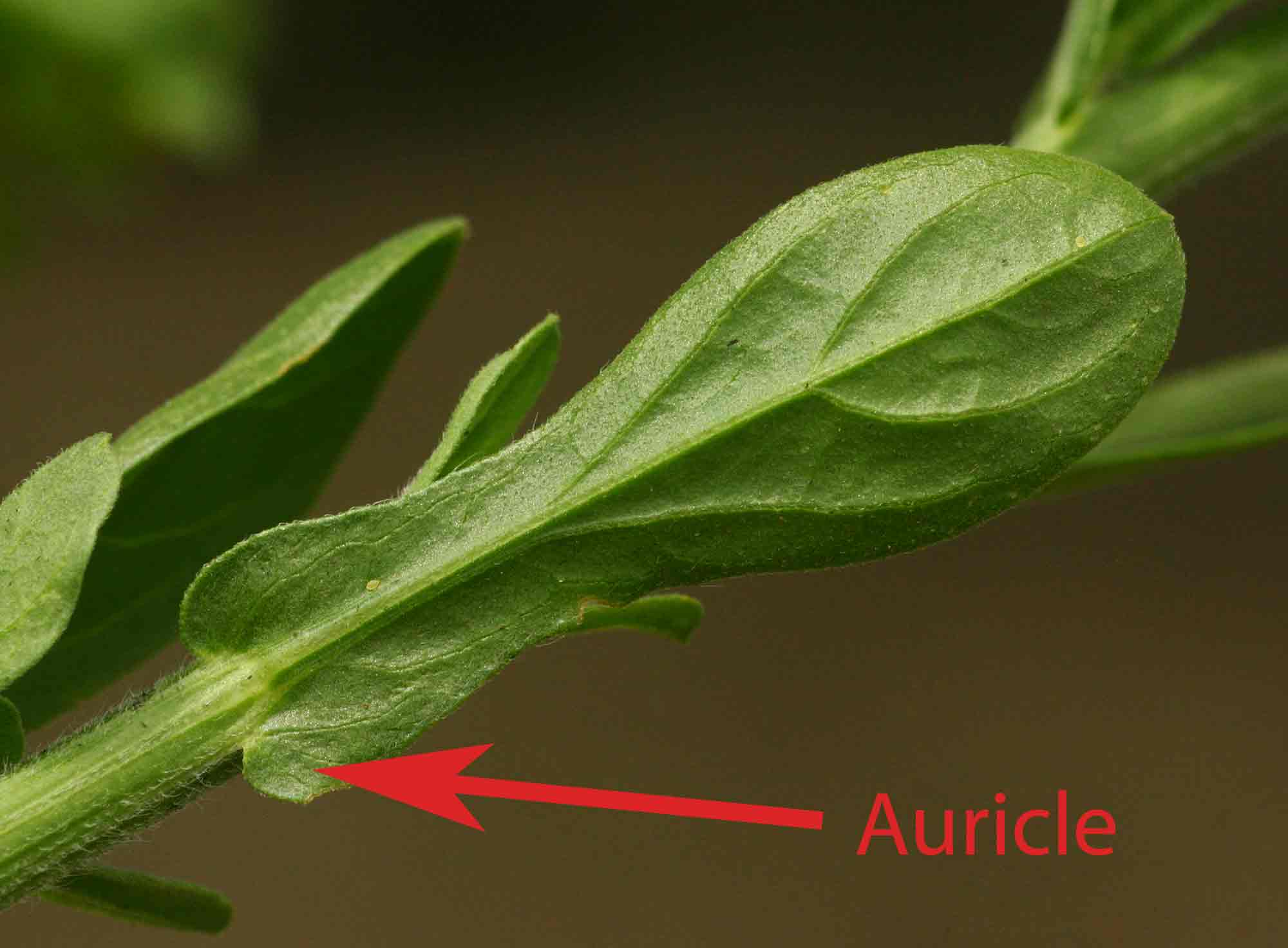 An auricle on Nidorella auriculata.