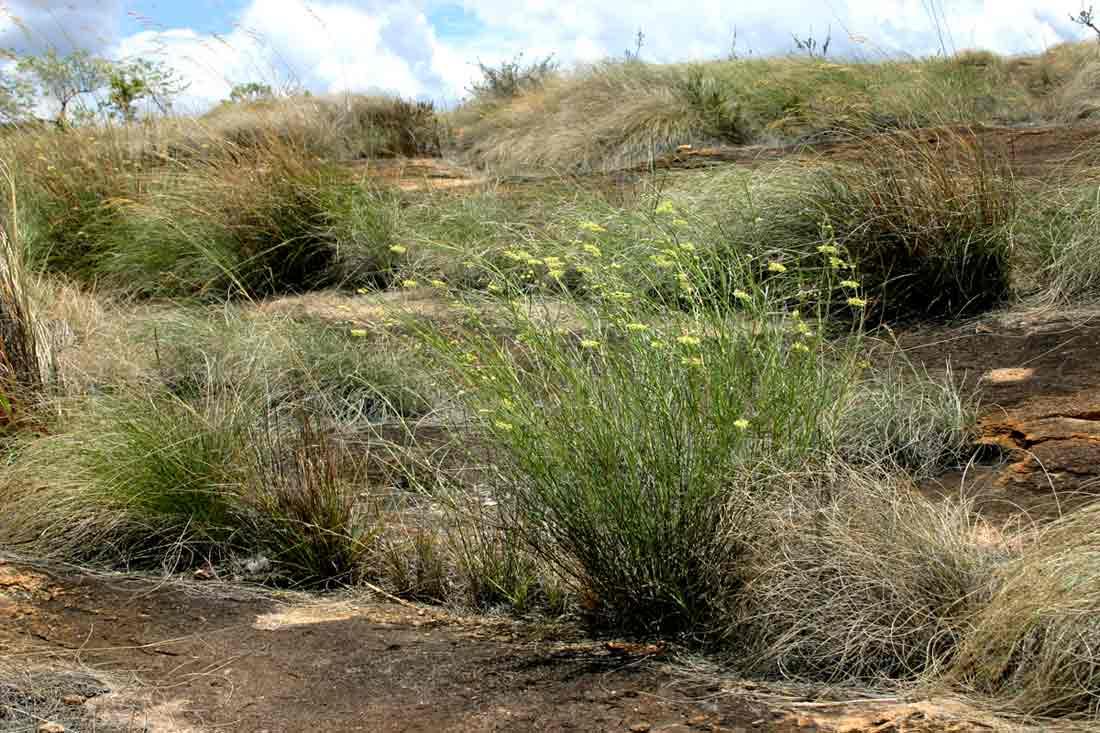 "<a href=""species.php?species_id=145730"">Gomphocarpus tenuifolius</a>, a granite rock endemic"
